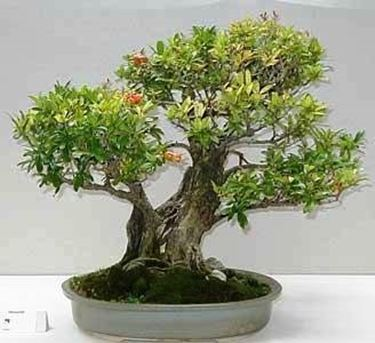 bonsai-melograno_N3